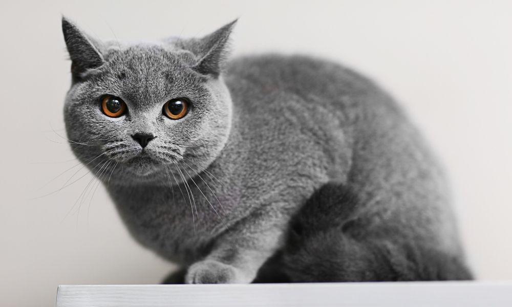 significado-de-sonho-com-gato-cinza