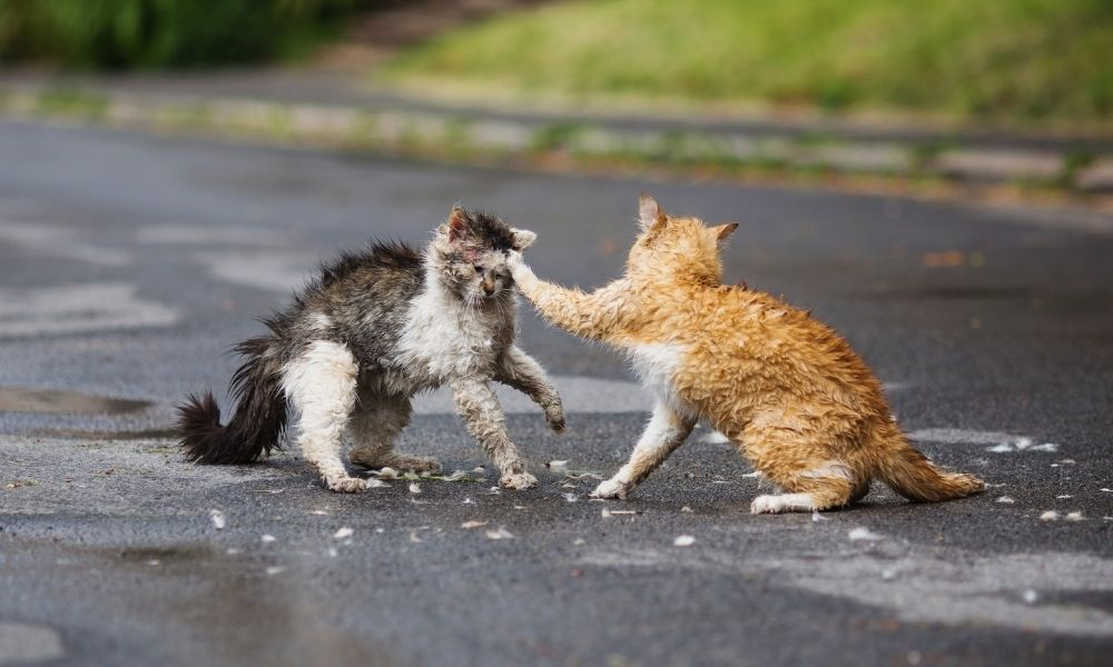 sonhar-com-gatos-brigando