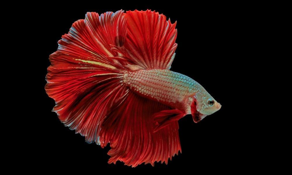 sonhar-com-peixe-vermelho