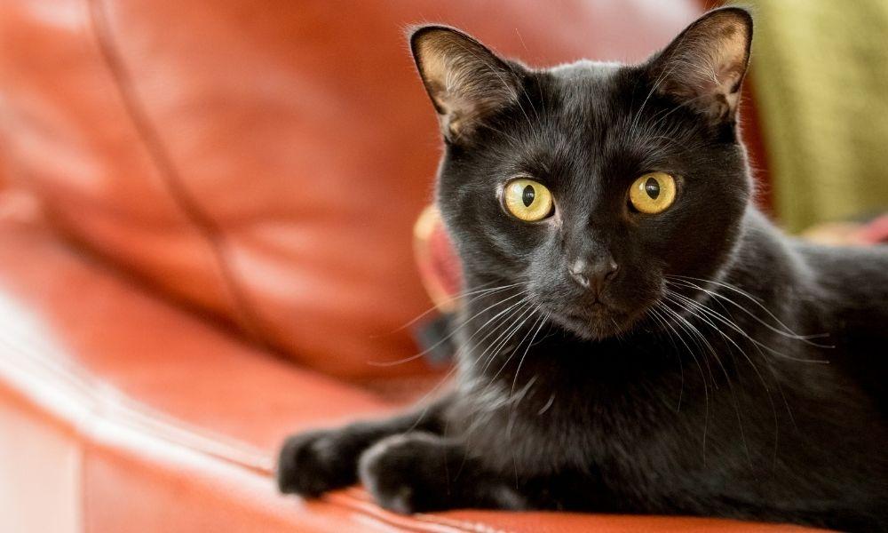 sonho-com-gato-preto